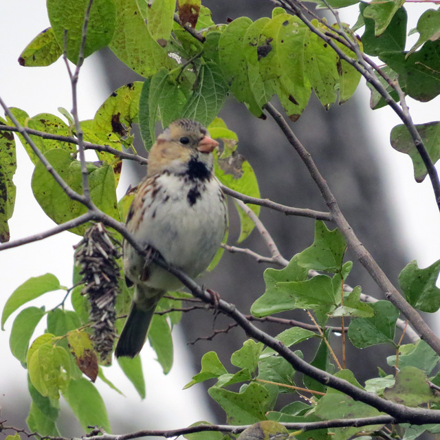 This was one of two juvenile Harris's Sparrows I saw this morning. Lifer #412