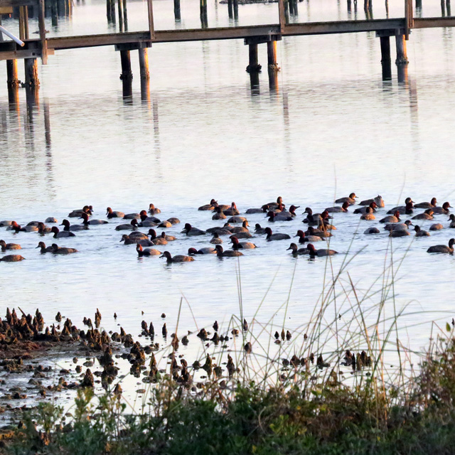 Large rafts of Redheads are everywhere, as are duck hunters traveling by noisy airboats.