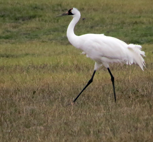 The  Whooping Crane flock journeys 2,500 miles south from Wood Buffalo National Park in Canada to Texas.