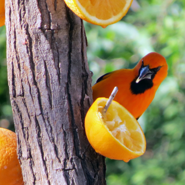An Altimira Oriole feeding at Bentsen Palm State Park this week.