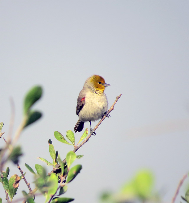 A pretty Verdin that posed just long enough before departing.