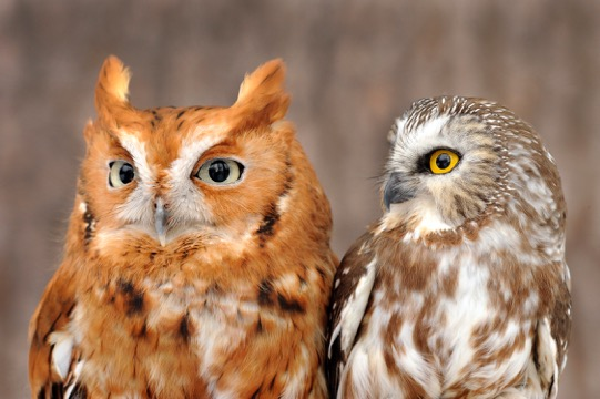 An Eastern Screech Owl and a Northern Saw-whet Owl join 4 other live owls at Marcia and Mark Wilson's Eyes On Owls presentation. Photo © Mark Wilson / Eyes On Owls