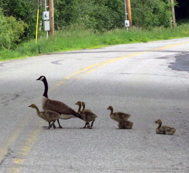 These CAGO's were adjacent Lake Lamoille. The goslings sat on the roadway, waddled a bit, walked some more. They seemed pretty accustomed to vehicle traffic.