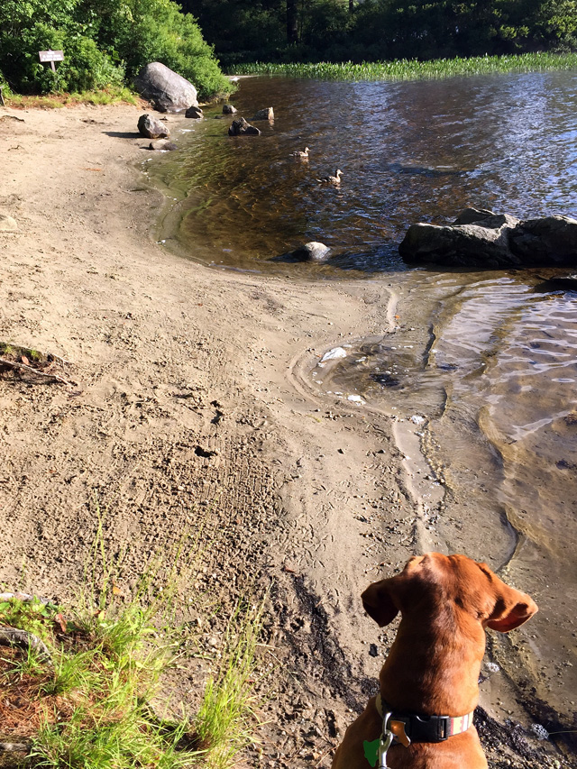 There were a number of first-year Mallards which have been tamed by feeding by the campers. Penny was quite interested in these two.