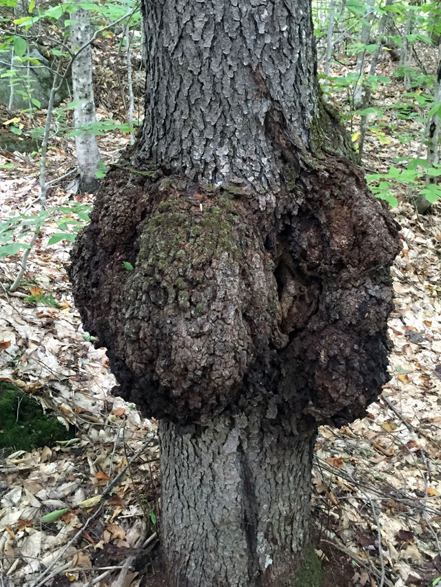 This deformity is called a burl (I think.) It was much larger than it appears in the photo.