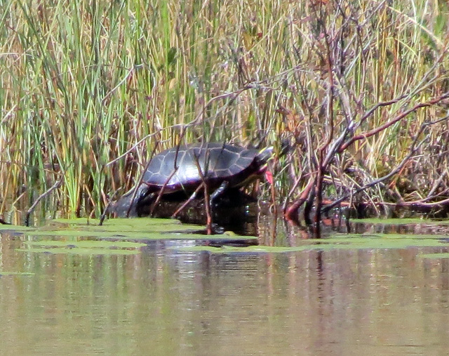 The only wildlife that I saw at the bog was this big turtle on the far edge of the open water.
