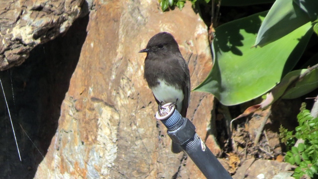 Black Phoebe perching on an old pool pipe, ready to swoop in for some insect snacks.