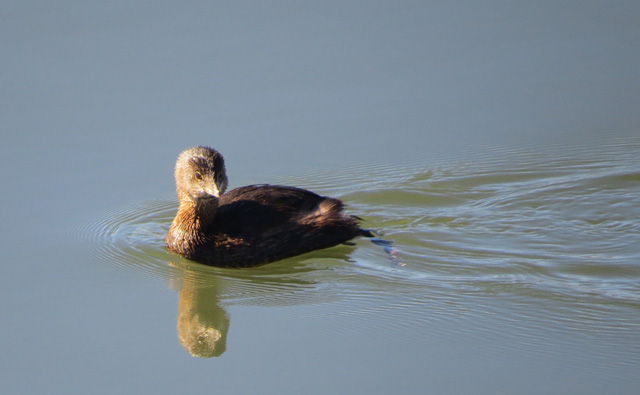 This Pied-billed Grebe cruised in rather closely.