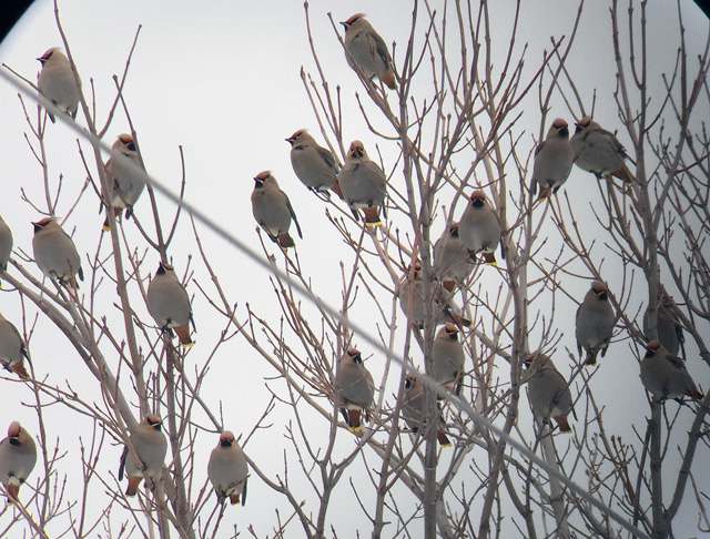 A few of the many Bohemian Waxwings seen on my first real outing of 2016.