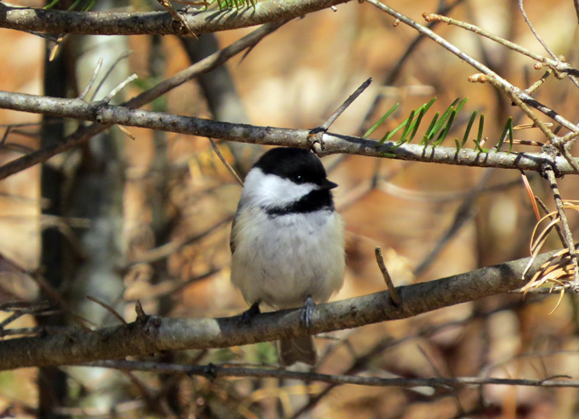 One of our Black-capped Chickadees who is believes in eating local food.