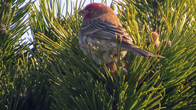 Several House Finches were in the shrubbery along the walkway to the beach.