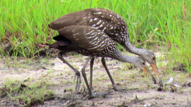 Dozens of Limpkins and their young live in the park and are easy to spot as they forage.