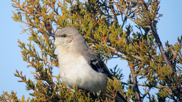 The mockingbirds were going through their repertoire - fun to hear and see.