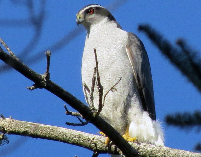 Northern Goshawks are beautiful birds. I think this is a female since its companion the other day was smaller.