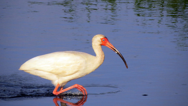 This White Ibis was pretty showy in the early morning light.