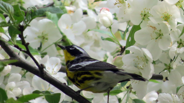 This bouncing Magnolia Warbler reminded me how tough it is to photograph warblers.